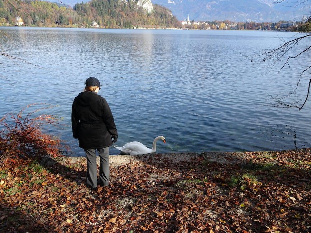 Lake Bled slovenia swan